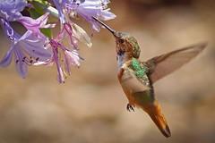Allen's Hummingbird (Selasphorus sasin) (Life of David) Tags: allenshummingbird selasphorussasin camarillo california agapanthus 5dmarkiv canon5dmarkiv canon5div vogel oiseau uccello pájaro pássaro world100f