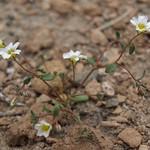 Inyo gilia, Linanthus inyoensis thumbnail