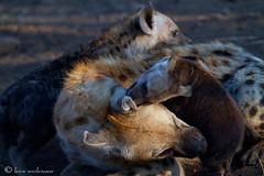 Family bonding (leendert3) Tags: hyena sunrays5 ngc leonmolenaar wildlife nature southafrica krugernationalpark mammals npc