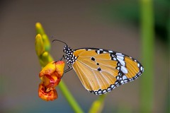 Ready to fly - Danaus chrysippus (Changer4Ever) Tags: nikon d7200 nikkor butterfly animal life nature color colorful bokeh dof depthoffield closeup macro outdoor season bright light wild wildlife