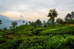 Munnar: Kerala (bappadityachandra) Tags: india green beauty beautiful sky tea garden tree