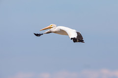 Gliding By (jeff_a_goldberg) Tags: americanwhitepelican wildlife nature bird birdinflight bif wisconsin pelecanuserythrorhynchos manitowocharbor lakemichigan manitowoc unitedstates us