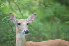 my deer you look lovely today (avflinsch) Tags: ifttt 500px park portrait nature grass animal cute eye wood wildlife fur deer outdoors wild fawn mammal no person