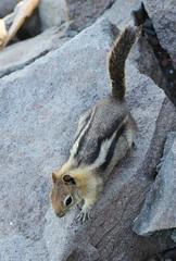 Golden-mantled Ground Squirrel (tombenson76) Tags: smithpeak goldenmantledgroundsquirrel callospermophiluslateralis
