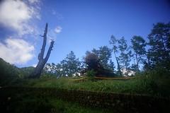 DSC07856 (rc90459) Tags: 最後的夫妻樹 夫妻樹 塔塔加 玉山