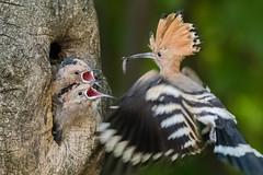 Upupa epops feeding the chicks. (Ciminus) Tags: garden naturesubjects wildlife ornitologia nikond500 upupaepops ciminus birds oiseaux aves ciminodelbufalo ornitology uccelli nature sunrays5