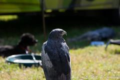 DSC_9540 (fjaphotography.co.uk) Tags: birds daresbury england unitedkingdom gb birdsofprrey steam