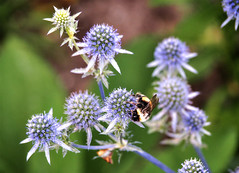 Busy bee (Jenne Barneveld) Tags: bee blue busy nature naturephotography