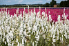 Confetti fields-2645 (Ruth Flickr) Tags: england wick worcestershire colour confetti delphinium farm field flora flowers horticulture larkspur seasonal summer white