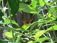 De Gehakkelde Aurelia: (remcovdk) Tags: 4julithuisenvlinders de gehakkelde aurelia