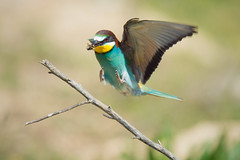Retour de la chasse - back from hunting (mehdiapic) Tags: beeeater guêpier europe nature wildlife wasp guêpe capture vol flight