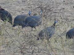 P1150829 Zimbabwe (59) (archaeologist_d) Tags: zimbabwe stanleylivingstonesafarilodge guineafowl africa southernafrica safari