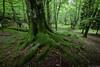 GORBEIA 2 (juan luis olaeta) Tags: forest bosque pagoa basoa canoneos60d canon sigma1020 gorbeia bizkaia paisvasco basquecountry euskalherria