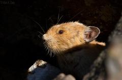 Pika in Morning Light (markvcr) Tags: nature canada animal wildlife rabbit pika