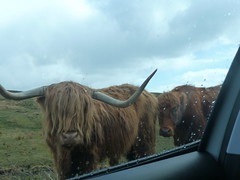 Close enough? (angelcottage) Tags: hairy coo skye scotland elgol