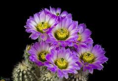 Echinocereus reichenbachii f. albispinus (clement_peiffer) Tags: echinocereus reichenbachii f albispinus flowerscolors d7100 105mm cactaceae succulent peiffer clement nikon cactus fleurs flower spines epines kaktusi кактуси