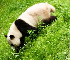 IMG_0510.jpg (wfvanvalkenburg) Tags: ouwehandsdierenpark panda familie