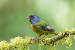 Moss-Backed Tanager / Bangsia edwardsi / Tangara Dorsimusgosa Ecuador (cheloderus) Tags: tanager moss mossbacked bird ecuador tangara