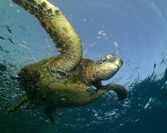 blink (BarryFackler) Tags: honu honaunaubay honaunau hawaiicounty hawaiiisland hawaii hawaiidiving hawaiianislands turtle tropical hawaiiangreenseaturtle seaturtle sea sealife southkona scuba seacreature sealifecamera sandwichislands saltwater cmydas cheloniamydas reptile greenseaturtle 2017 marinereptile marine marinebiology marineecosystem marineecology nature barryfackler barronfackler bigisland biology bay bigislanddiving being vertebrate creature coralreef coral zoology aquatic animal diving diver dive fauna kona konadiving konacoast life water westhawaii ecology ecosystem reef undersea underwater island organism ocean outdoor polynesia pacific pacificocean bubbles blink squint blinking