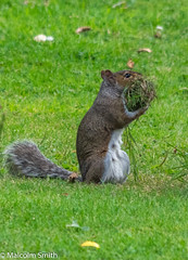 Can I have Some Grass Please? (M C Smith) Tags: pentax k3ii green grass leaves squirrel