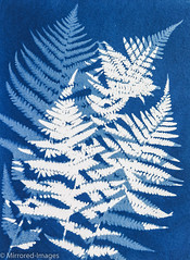 Fabulous Ferns (Mirrored-Images) Tags: blue cyanotype ferns flora flowers garden mono monochrome nature original outdoor paper unique alternativephotographicprocess analogue cameraless