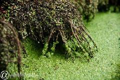 Agua Estancada (alfamh) Tags: algas miguelmh michoacan santiago tangamandapio alfamh aguaestancada