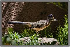 Greater Roadrunner (Rick-Willis) Tags: adobelightroom birds horizontal newmexico ononesoftware usa