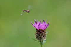Incoming....... (klythawk) Tags: hoverfly knapweed wildflower nature summer wildlife green purple brown yellow black white olympus em1mkll omd 100400mm panasonic claypitnaturereserve wildlifetrust sssi wilford nottingham klythawk