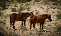 Lean on me (Karen McQuilkin) Tags: wildhorses lakemead valley fire