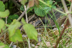 Another well hidden Adder (Matchman Devon) Tags: south hams devon adder viper berus