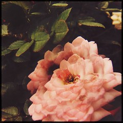 rose (meeeeeeeeeel) Tags: hipstamatic jardim garden corderosa palepink surrealnature naturezasurreal nature natureza squareformat iphone iphoneography experimental jellylens miragelens miragefilter surreal flor flower rosa rose