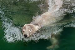 Polar bear Noordje (K.Verhulst) Tags: noordje polarbears polarbear bears beren beer ijsberen ijsbeer emmen wildlandsadventurezoo wildlands