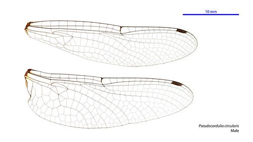 Pseudocordulia circularis male wings