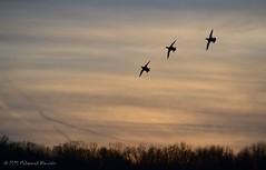 Mallard Ducks Flying بط بري يطير (Mohammed Almuzaini) Tags: birds ducks sky colors sunset nature flying طبيعة طيور غروب الشمس