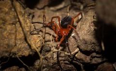 Nicodamus peregrinus (dustaway) Tags: arthropoda arachnida araneae araneomorphae nicodamidae nicodamus nicodamusperegrinus redblackspider australianspiders clagirabaforestreserve coomeravalley sequeensland queensland australia natur nature spinne araignee