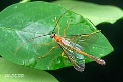 Ichneumon wasp (Enicospilus sp.) - DSC_5915 (nickybay) Tags: singapore venusdrive macro ichneumonidae enicospilus ichneumon wasp