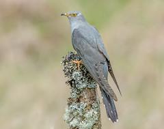 JWL8334  Cuckoo.. (jefflack Wildlife&Nature) Tags: cuckoo cuckoos summermigrant birds avian animal wildlife wildbirds wetlands woodlands moorland meadows heathland hedgerows countryside nature