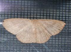 Speckled Geometrid wave moth Prasinocyma sp Geometridae Airlie Beach P1010193 (Steve & Alison1) Tags: speckled geometrid wave moth prasinocyma sp geometridae airlie beach