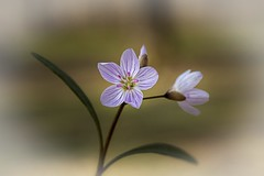 Flower..... (Kevin Povenz Thanks for the 3,300,000 views) Tags: 2017 april kevinpovenz westmichigan michigan ottawa ottawacounty ottawacountyparks wildflower flower paint different pink macro canon7dmarkii sigma70mmmacro