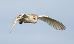 Hunter at sunset (cdwpix) Tags: barn owl tyto alba stoney creek east yorkshire