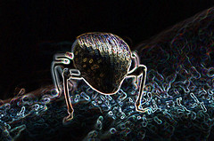 a weevil (conall..) Tags: sliderssunday weevil raynox dcr250 macro closeup county down tullynacree annacloy garden patio narrow dof selective focus manipulated manipulatedimage photoshop elements 15 messing abstract weird glowing edges