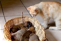 La curiosidad mató al gato (angelmarioksherattoflores) Tags: gatos felinos animalesdomésticos mascotas boxer