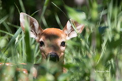 Hidden (Explore 13/06/17) (Canon Queen Rocks (1,670,000 + views)) Tags: animals deer fawn nature natural ears eyes spots hidden wildlife wild animal young baby momentsbyceline alberta canada grass