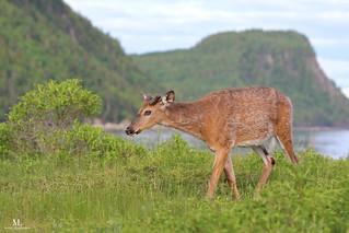 White tailed deer -Cerf de Virginie - Odocoileus virginianus