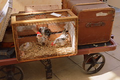Travelling Chickens (dhcomet) Tags: cockerel hen chicken 2 two pair eggs cage travel railway bucks centre