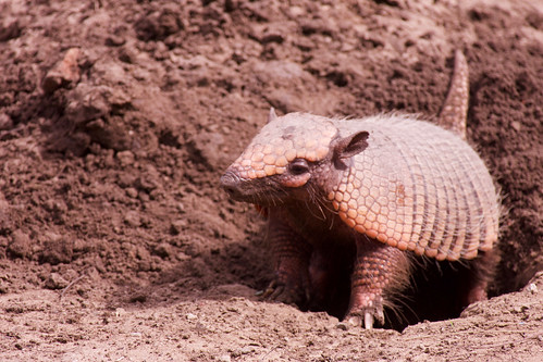 brazil-pantanal-caiman-lodge-armadillo-copyright-thomas-power-pura-aventura.jpg