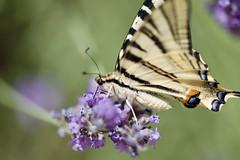 Un papillon, ça trompe énormément ! (benjamin urbain) Tags: macro extérieur nature fleur lavande insectes d3300 papillon flambé