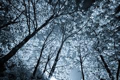 Tick heaven (citrusjig) Tags: pentax wisconsin kx infrared irconverted fullspectrum sigma1020mmf456 bw090redfilter blackandwhite toned