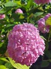 (Iggy Y) Tags: hydrangea macrophylla spring blossom flower pink color flowers green leaves velelisna hortenzija bigleaf hortensia nature park garden plant sunny day light
