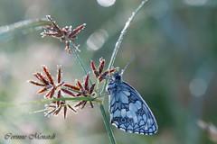 Melanargia galathea L. (Corinne Ménardi) Tags: insecte papillondejour nymphalidae satyrinae rhopalocères lépidoptère